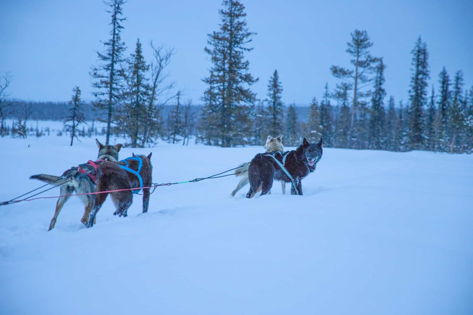 lappland-hundsläde-jukkasjärvi